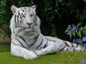 Tiger pseudonim
